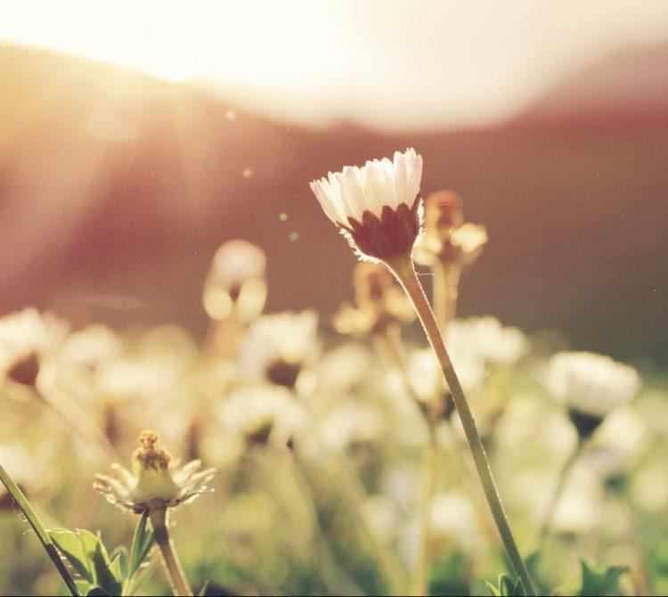 Daisy field in sunset