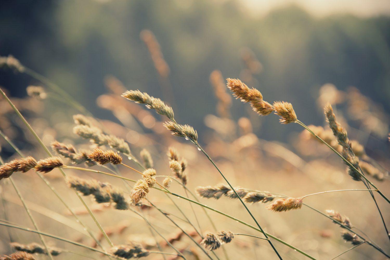 Wheat blowing in the wind in field