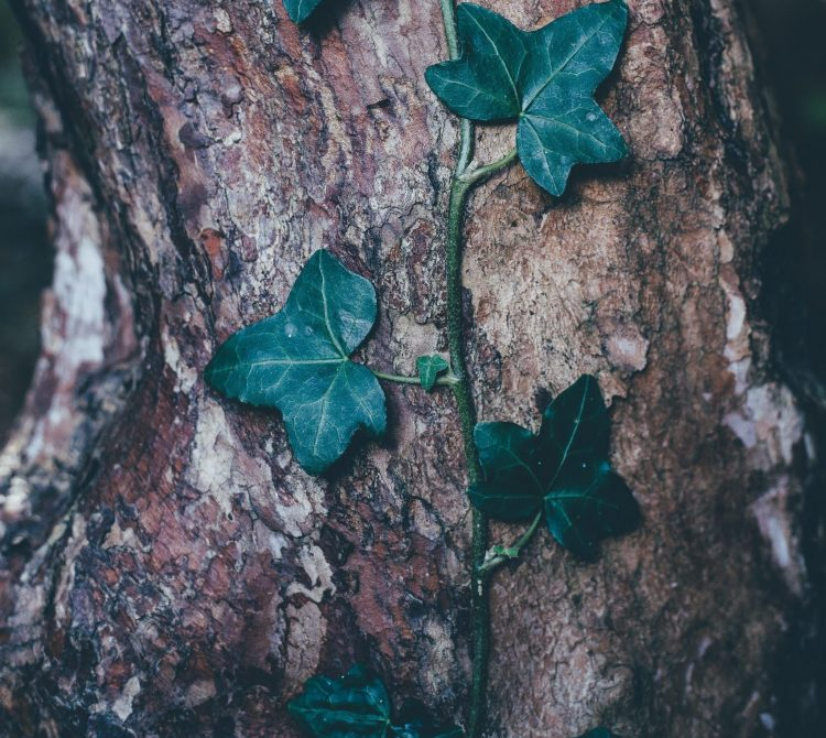 Green creeper on a tree