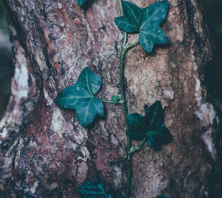 Green creeper on a tree
