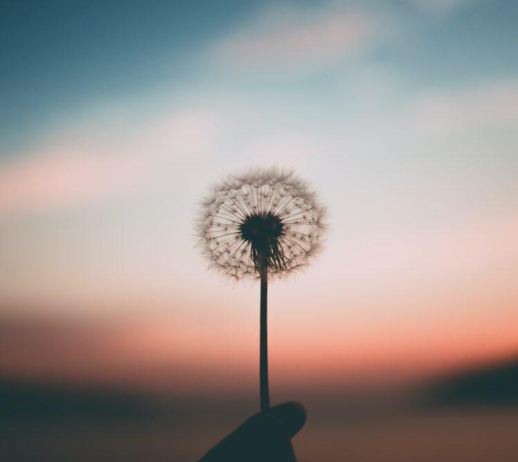 Dandelion in sunset
